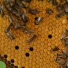 Velika tajna dugovječnosti pčelinje matice